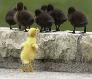 A few black ducklings have turned their backs on the single yellow duckling showing that they are not his friend.