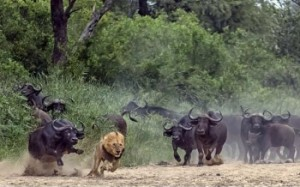 A lion must run faster because he is being chased by many buffalo.