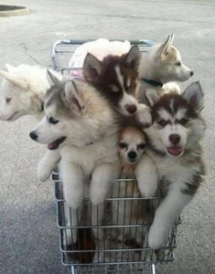 Six four-month old puppies are sitting in a shopping trolley.