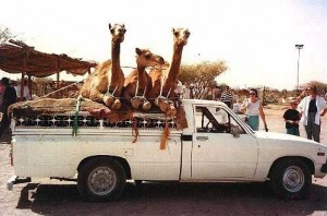 Four camels are sitting in a car.