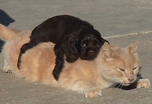 A young dog is lying on the back of a cat.