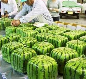 Square green melons being packed in a factory.