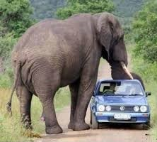 An elephant has put its trunk on top of a car.
