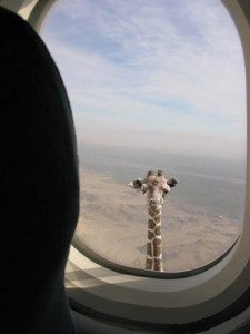 The neck and head of a giraffe can be seen out of the window of a flying aircraft.