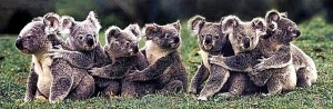 A group of koalas is hugging each other.