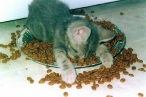 A kitten has fallen asleep while eating its dinner.