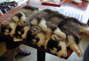 Four dogs sleeping on a table.